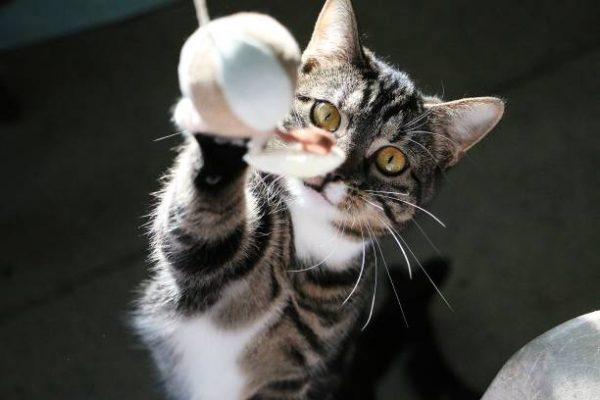 funny cat is playing with a flying ball